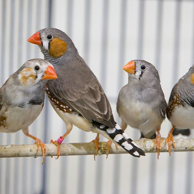 Genes in songbirds hold clues about human speech disorders, UCLA biologists report